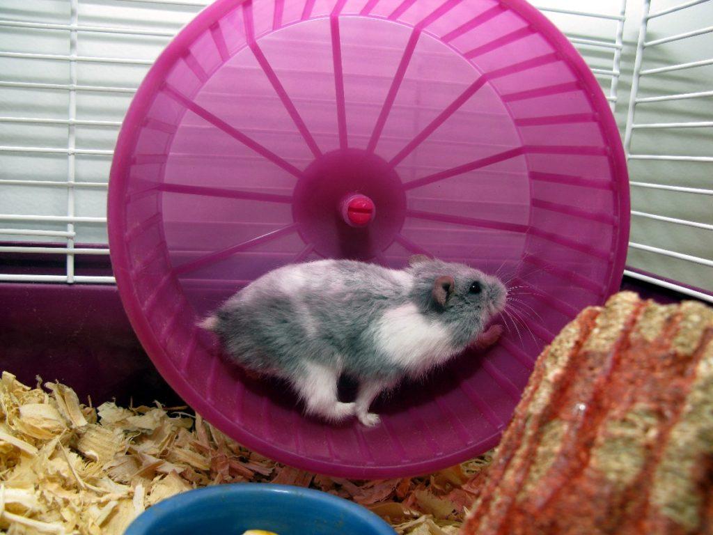 Ratón girando en rueda dentro de jaula
